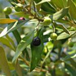 Chá de Oliveira – Para que serve?