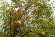 Chá de Mangabeira – Benefícios e propriedades