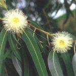 Tratamentos e receita do chá de Eucalipto