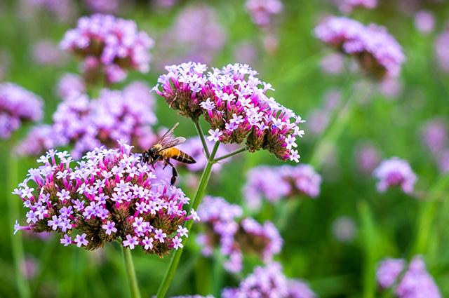 Flores e ramos de verbena lilás
