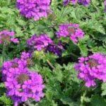Verbena – Usos e propriedades dessa planta