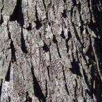 Cascas do Angico possuem inúmeras propriedades medicinais