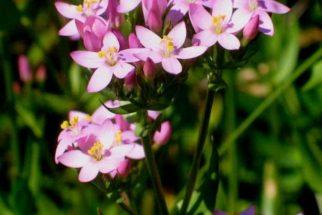 Os poderes da planta medicinal Fel da Terra