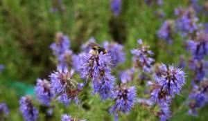 Hyssopus-officinalis-flowers