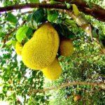 Jaca – Benefícios e propriedades