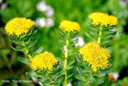 Conheça a Rhodiola Rosea, uma planta medicinal com poderes incríveis!