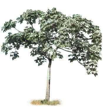 Conheça mais sobre a planta embaúba