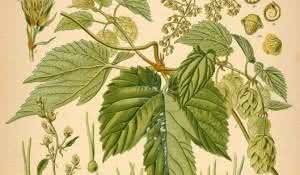lupulo-planta