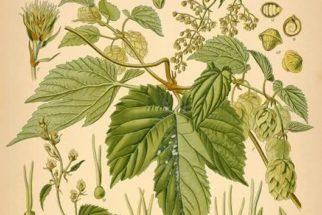 Lúpulo, uma planta com diversas aplicações terapêuticas