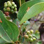 Chá de japecanga – Conheça seus incríveis benefícios