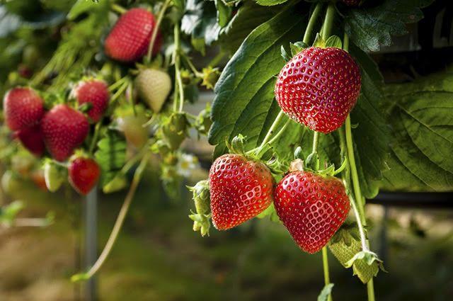 Graças a sua propriedade depurativa, o morango consegue tratar o fígado gorduroso