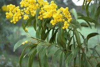 Os benefícios da planta acácia