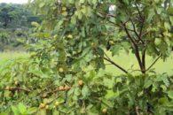 Goiabeira – Benefícios e propriedades