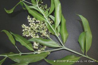 Pholia magra – Benefícios e propriedades