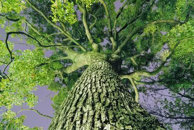Cinnamomum camphora - Árvore que dá origem a Cânfora