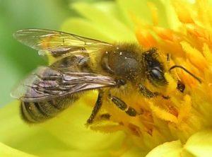 Própolis de abelha