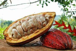 Os benefícios do cacau para a saúde e deliciosas receitas com ele