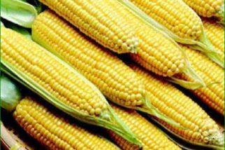 Saiba como usufruir dos benefícios do milho