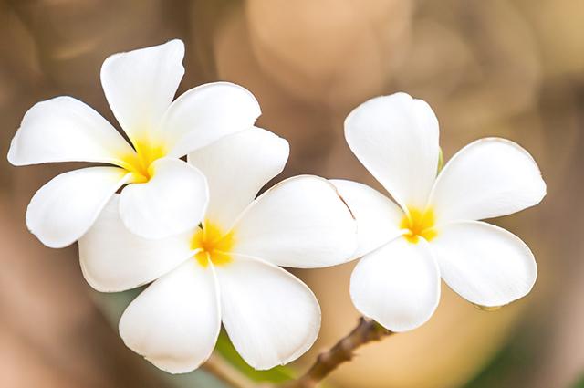 Flores de agoniada