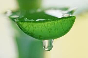 Conheça os benefícios da aloe vera para o organismo