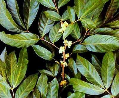 Indicações de uso do chá de marapuama