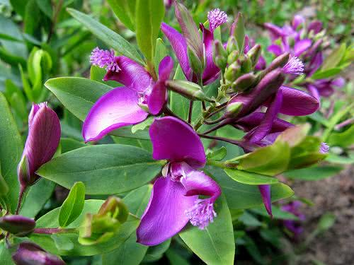 Propriedades e benefícios da bela planta polígala