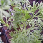 Cânfora de jardim – Benefícios e propriedades