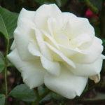 Chá de rosa branca e suas várias indicações
