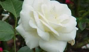 cha-de-rosa-branca-e-suas-varias-indicacoes