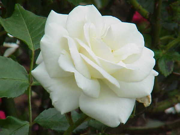 Resultado de imagem para fotos de rosass