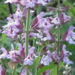 Sálvia – Os benefícios dessa planta medicinal e ornamental