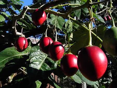 Tamarillo – O tomate das árvores