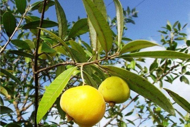 Frutos de uvaia