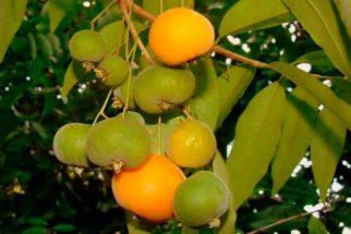 Uvaia – Benefícios dessa fruta exótica que emagrece