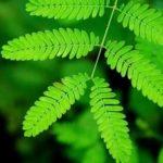 Dormideira – Benefícios e propriedades dessa planta