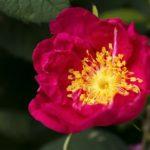 Chá de rosa-rubra – Benefícios e propriedades