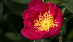 cha-de-rosa-rubra-beneficios-e-propriedades