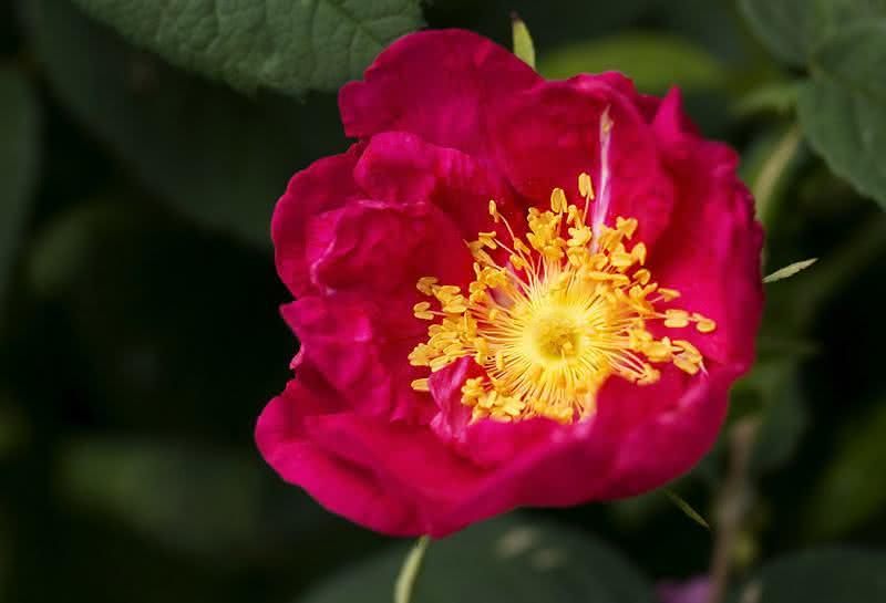 Chá de rosa-rubra - Benefícios e propriedades