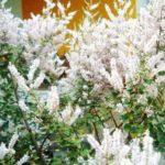 Óleo de mirra – Benefícios e propriedades