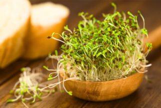 Alfafa – Benefícios à saúde e emagrecimento