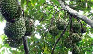 durian-a-fruta-com-mau-cheiro-que-traz-beneficios