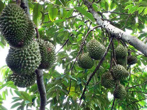 Durian – A fruta com mau cheiro que traz benefícios