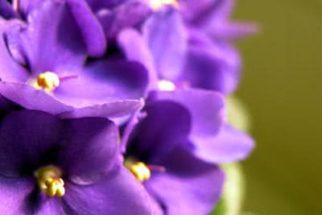 Violeta – Benefícios e propriedades