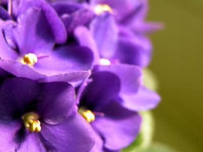 Violeta - Benefícios e propriedades