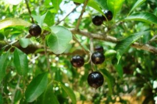 Chá de quixaba – Benefícios e propriedades