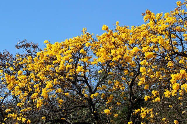 O ipê amarelo tem porte alto podendo alcançar os 30 metros de altura