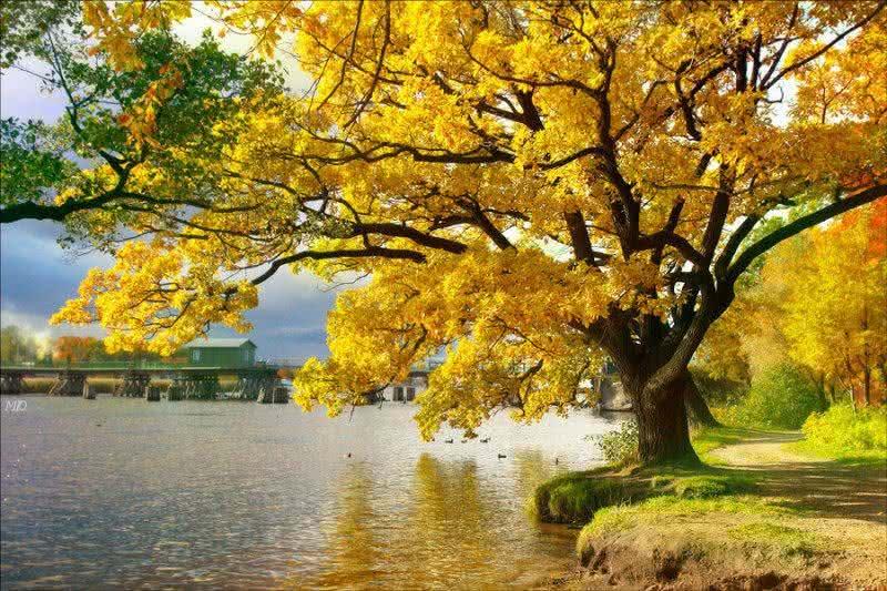 Ipê amarelo - Propriedades e usos