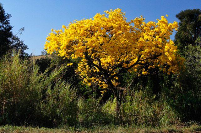 A grande característica do ipê amarelo são suas belas flores amarelo-ouro