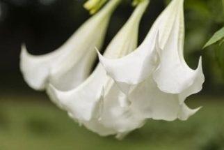 Saia-branca – Benefícios e propriedades