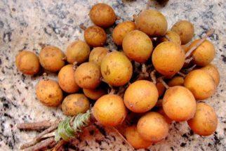 Benefícios e propriedades da pitomba
